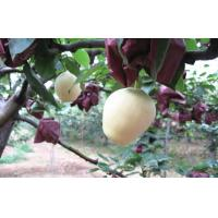 Wholesale Crisp Yellow Fresh Apple Pear Health Benifits For Supermarket from china suppliers