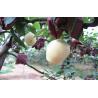 Buy cheap Juicy Yellow Crisp Fresh Pears from wholesalers