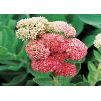 Wholesale Salidroside CAS No.10338-51-9 1-98% Natural Rhodiola Rosea Extract from china suppliers