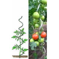 A green spiral tomato support and a galvanized spiral support for tomatoes