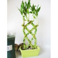 Wholesale Braided Dracaena Lucky bamboo (indoor Foliage plants) from china suppliers
