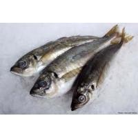 Wholesale Good Price of Horse Mackerel Frozen Fish for with size 100-200g. from china suppliers