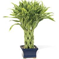 Wholesale Golden Lucky bamboo ( indoor ornamental foliage plants) from china suppliers