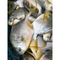 Wholesale Hot sale Frozen WR Golden Pompano Fish With 600-800g for Marketing. from china suppliers