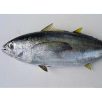 Quality Hot sale Frozen WR Bonito Tuna Fish With Best And Competitive Prices. for sale