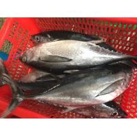 Wholesale Whole Round Bonito Seafood Fish  Frozen Katsuwonus Pelamis on Sale. from china suppliers