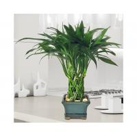 Wholesale Dracaena sanderiana Lucky Bamboo (House plant and Tree) from china suppliers
