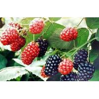 Wholesale Mulberry Fruit Extract from china suppliers