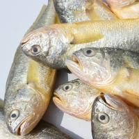 Good price frozen fresh yellow croaker from China for African macketing.
