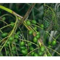 Wholesale Saw Palmetto Fruit Extract, Fatty Acids 25% 45%, anti-inflammation, enhance immunity, from china suppliers