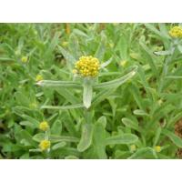 Wholesale Cudweed Herb Extract, Gnaphaii Affinis Extract, 10:1, TLC, TCM Extract, Manufacturer, Shaanxi Yongyuan Bio-Tech from china suppliers