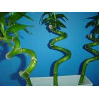 Wholesale Indoor Spiral Lucky Bamboo Plant Nursery from china suppliers