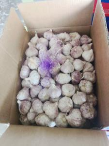 Wholesale 5.5cm Normal White Natural Fresh Garlic Reducing Bacteria from china suppliers