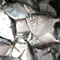 Wholesale New Arrival Whole Round Frozen Moonfish Direct from Factory Directly. from china suppliers