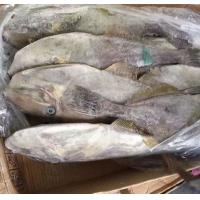Quality Good Quality Seafood Frozen Skipjack Fish Supplier with All Size for Marketing. for sale