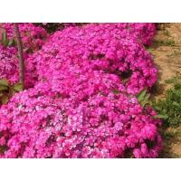 Wholesale Phlox drummondii Hook from china suppliers