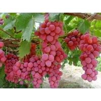 Buy cheap organicgrape from wholesalers