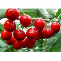 Buy cheap organiccherry from wholesalers