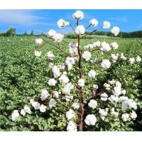 Wholesale FENG ZA MIAN NO.1 HYBRIDCROP AND OILSEED from china suppliers