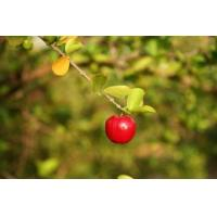 Wholesale Acerola Extract, Concentrate from china suppliers