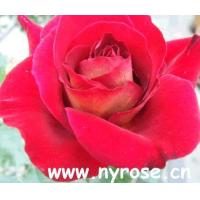 Wholesale chinese rose from china suppliers