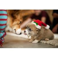 Animals Christmas Puppy Apparel Wallpaper for Android, iPhone and iPad