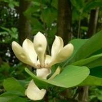 Buy cheap 100% natural High Quality Pure Magnolia Officinalis P.E from wholesalers