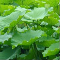 Buy cheap lotus leaf extract powder/ nuciferine from wholesalers