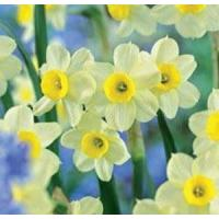 Wholesale Flowers Daffodil, Minnow from china suppliers