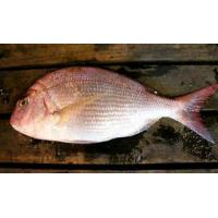 Wholesale Mackerel Frozen Red Sea Bream W/R from china suppliers