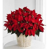 Wholesale Large Red Poinsettia Basket - B13-3602 from china suppliers