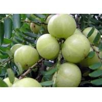 China Phyllanthus Emblica Extract Model: J1068 on sale