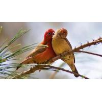 Wholesale Lover Bird Maintenance Feed from china suppliers