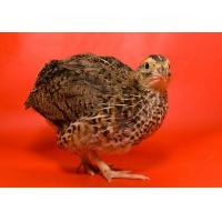 Wholesale Broiler Quail Grower Feed from china suppliers