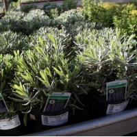 Wholesale Kitchen Garden Lavender 1L pot from china suppliers