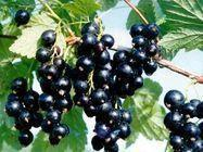 Wholesale Black Currant Juice Powder from china suppliers