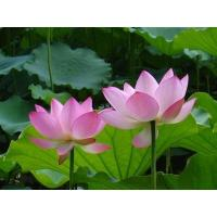 Wholesale Lotus Leaf P.E. from china suppliers