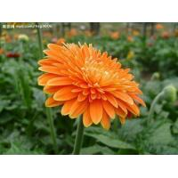 Wholesale HS0086HS-Gerbera seeds Vegetable and flower seeds from china suppliers