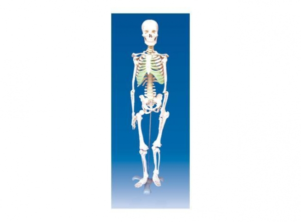 Maxcare Phone Number >> MM-33 The model of human skeleton of item 44105574